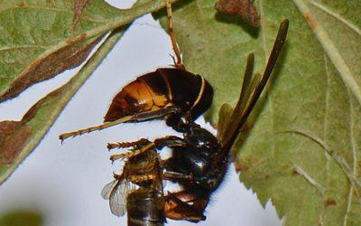 Aziatische hoornaar palmt in razend tempo ons land in – meldingen door de burger van harte welkom.